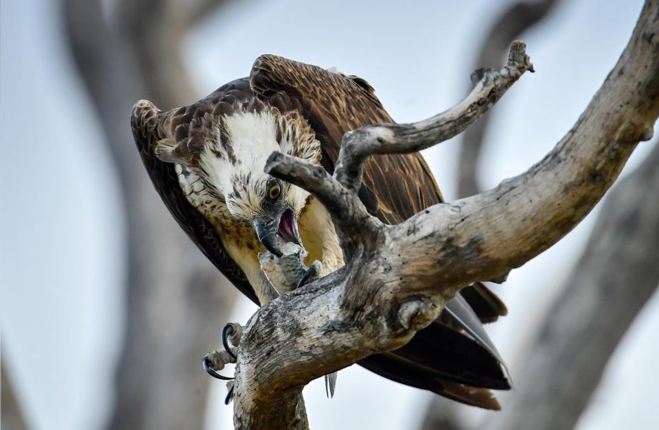 Eastern Osprey Wildlife Photography
